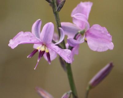 Dichopogon spp.