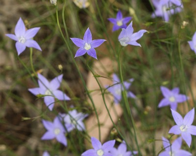 Wahlenbergia spp.