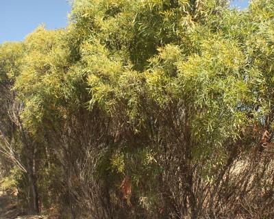 Acacia deformis