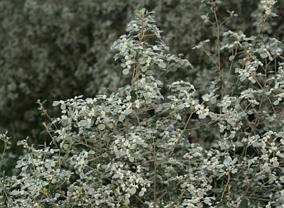 Spyridium parvifolium